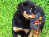 Rottweiler puppy pictures - Nikki tearing up a toy