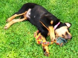 Rottweiler puppy pictures - Boy, playing is hard work