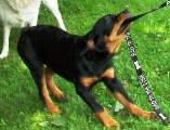 Rottweiler puppy pictures - Nikki thinks she's the boss?