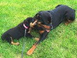 Rottweiler puppy pictures - Nikki really picking on Moose