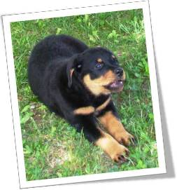 Cute Rottweiler puppy pictures
