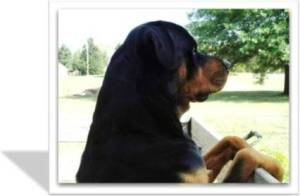 Rottweiler Rescue Groups Comprehensive Nationwide List Organized