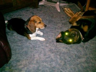Rocky the Super Beagle Thinks Rowdy the Rottenweiler is Nuts