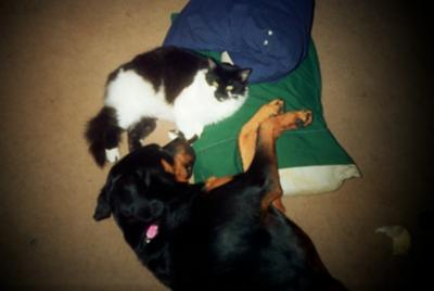 Rottweiler and cat sleeping