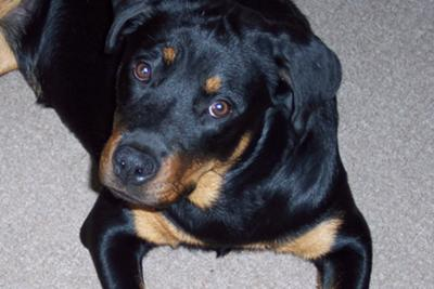 Rottweiler Pictures Gallery View Amazing Pictures Contributed By