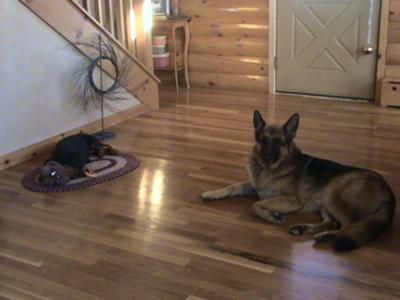 Our Shepard who thinks she's mothering Wriley