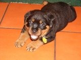 Rottweiler puppy pictures - Duke before he came home