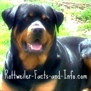 Rottweiler Growth Chart Know What To Expect As Your Rottie Grows Up